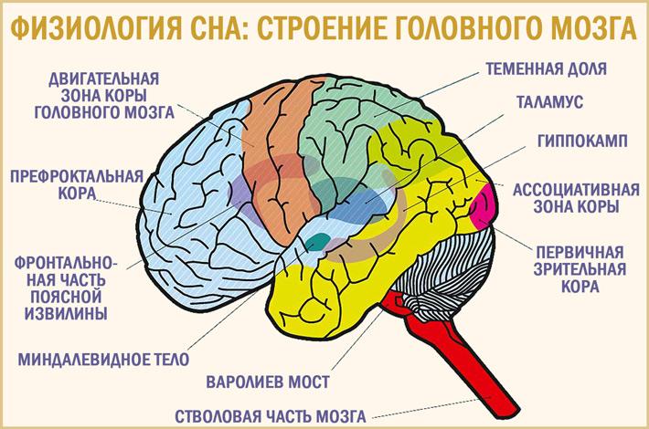 Физиологические механизмы сна