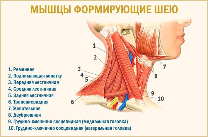 Мышцы на шее