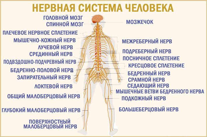Как устроена нервная система