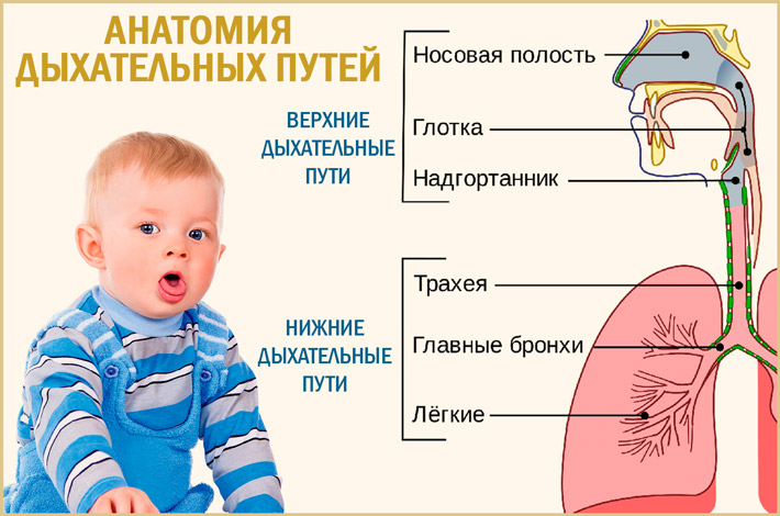 Анатомия дыхательных путей