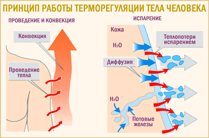 Терморегуляция тела
