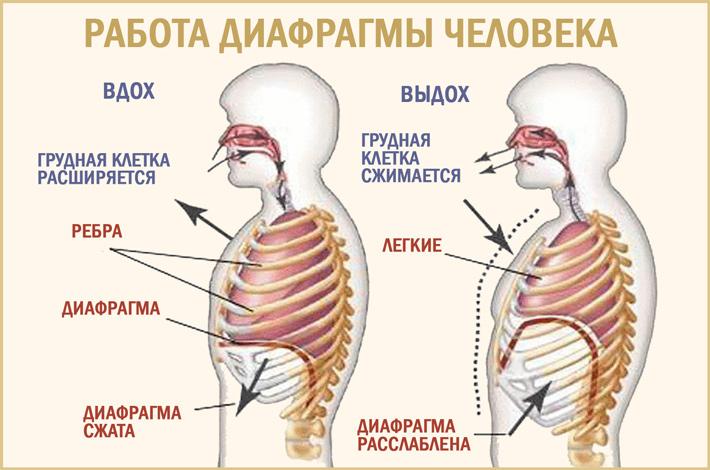 Анатомия диафрагмы человека