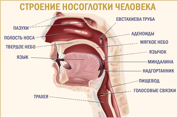 Носоглотка человека