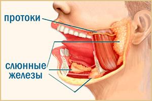 Слюнные протоки и железы человека